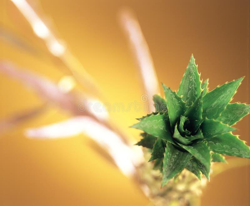 Planta de abacaxi diminuta fotografia de stock royalty free