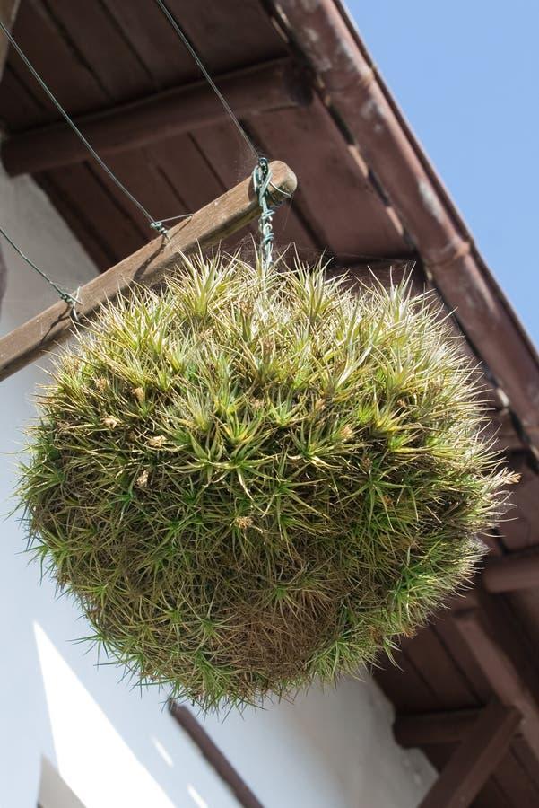 Planta de aire. Tillandsia imagen de archivo. Imagen de cubo - 24698669