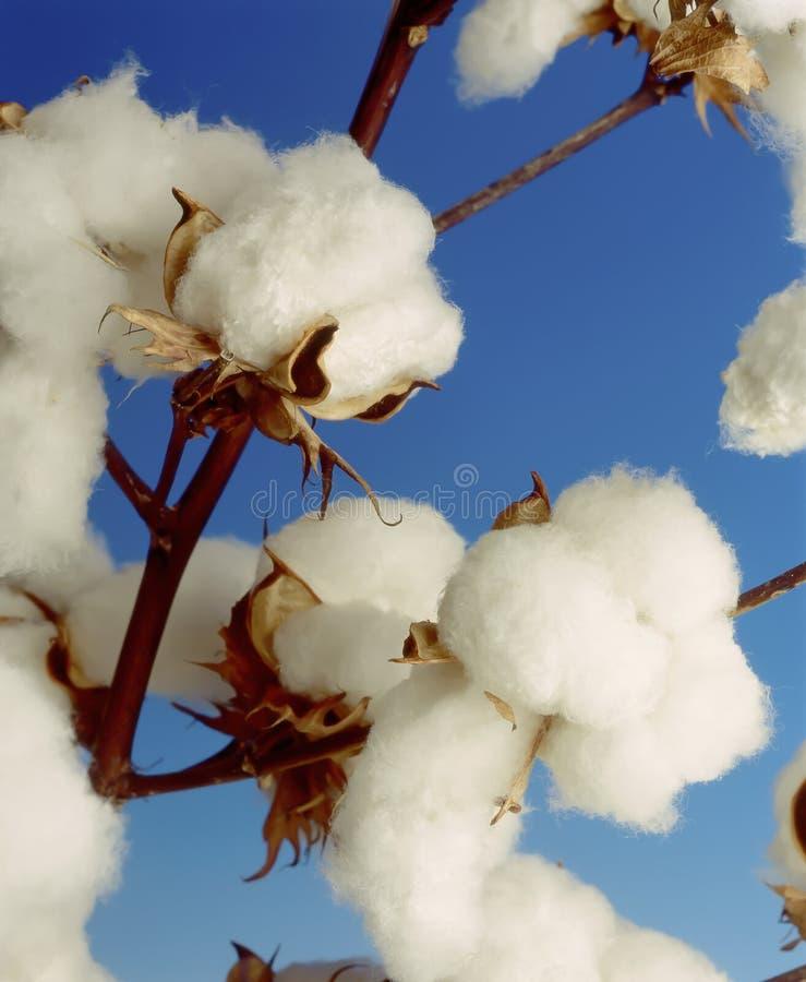Planta de algodão fotos de stock royalty free