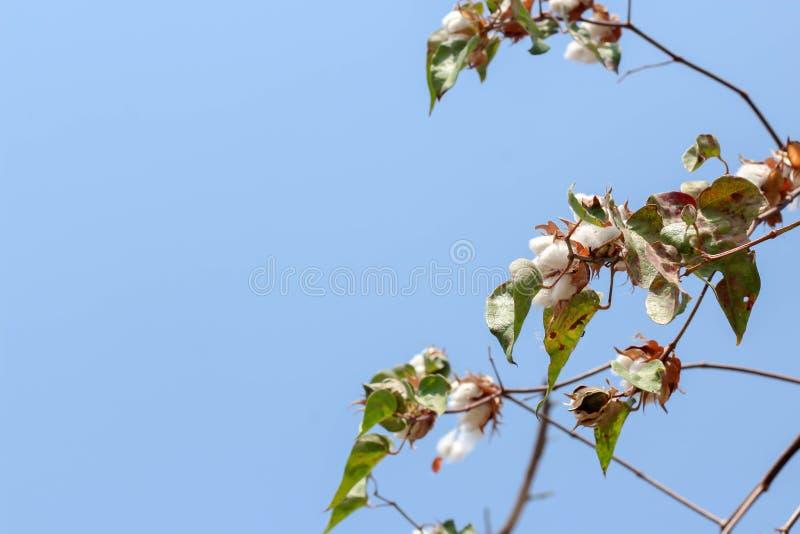 planta de algodão pronta para colher o campo branco fotos de stock