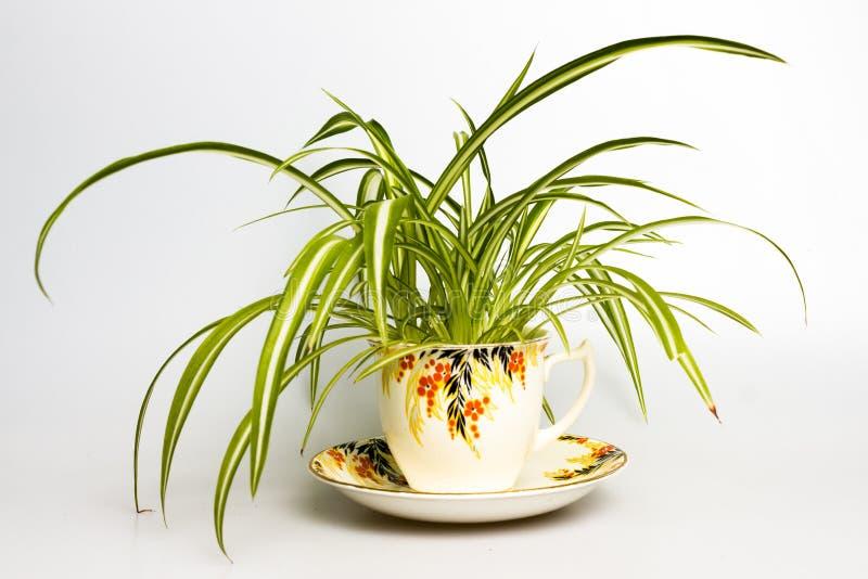 Planta de araña en taza de té retra foto de archivo