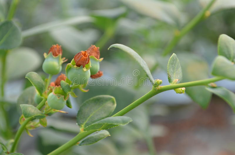 Planta de arandano στοκ εικόνα