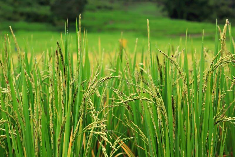 Planta de arroz fotos de archivo