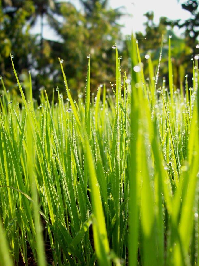 Planta de arroz foto de stock royalty free
