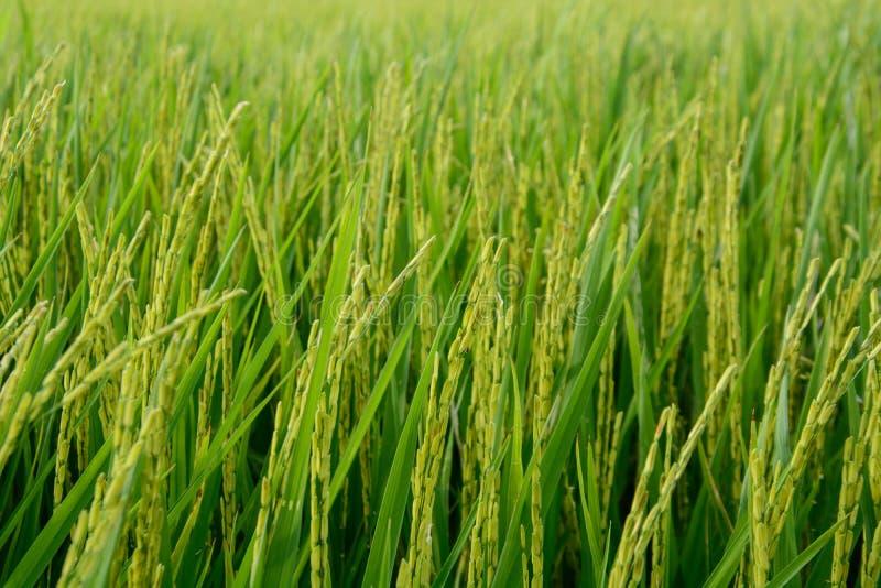 Planta de arroz fotos de stock royalty free