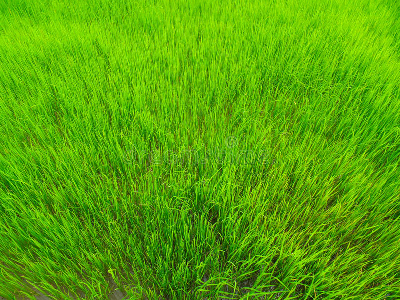 Planta de arroz fotografía de archivo