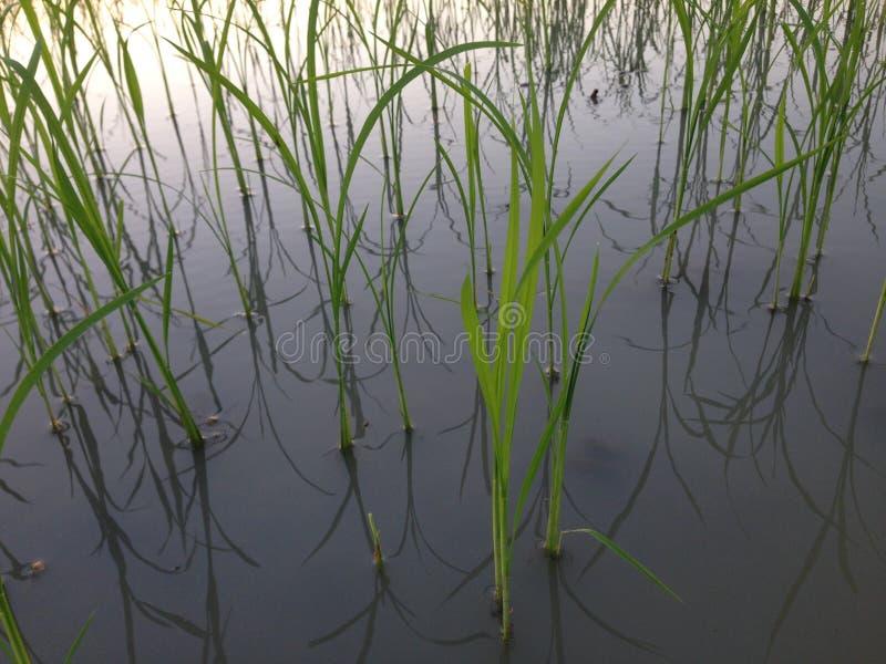 Planta de arroz do por do sol da noite no campo de almofada em dezembro Tailândia do campo de milho #030 imagem de stock