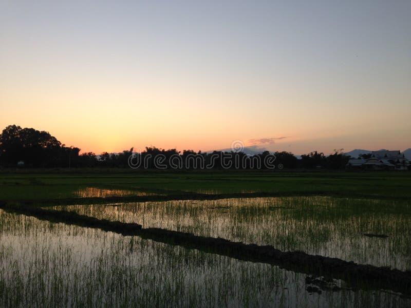 Planta de arroz do por do sol da noite no campo de almofada em dezembro Tailândia do campo de milho #031 imagens de stock royalty free