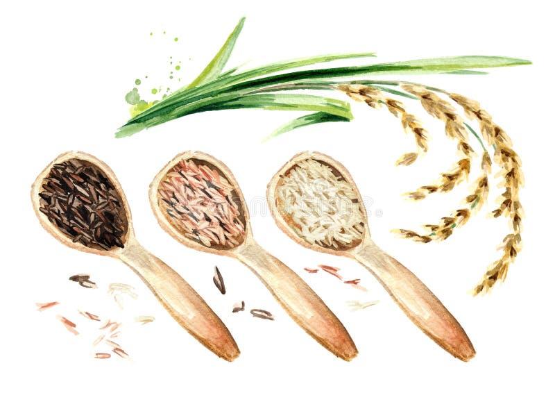 Planta de arroz e colheres de madeira com tipos diferentes do arroz, vista superior Ilustração tirada mão da aquarela, isolada no ilustração do vetor