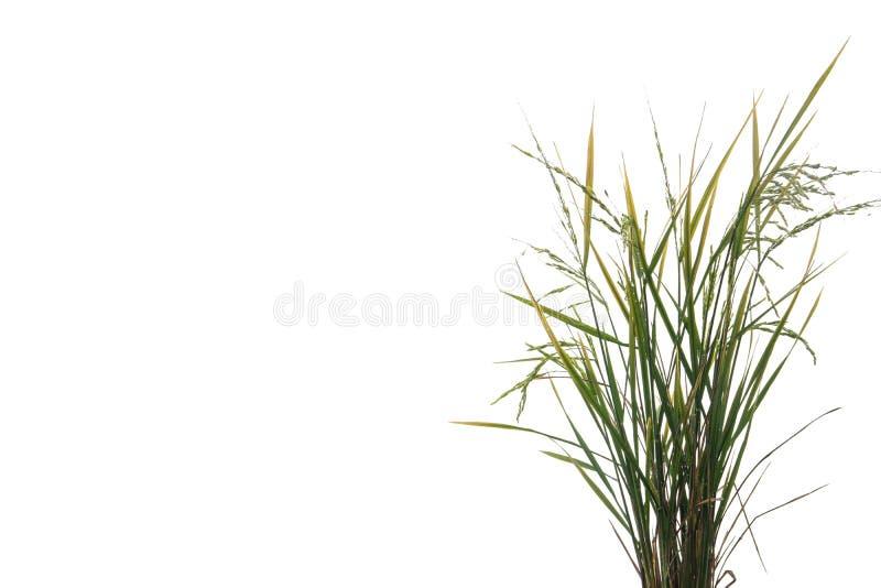Planta de arroz verde fresca aislada en el fondo blanco del fichero con la trayectoria de recortes foto de archivo libre de regalías