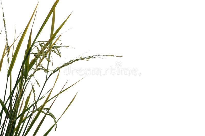 Planta de arroz verde fresca aislada en el fondo blanco del fichero con la trayectoria de recortes imagenes de archivo