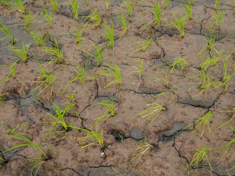 Planta de arroz y grieta del suelo, foto de archivo