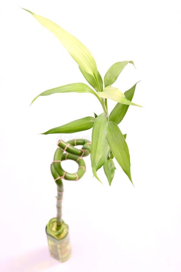 Planta de bambú foto de archivo libre de regalías
