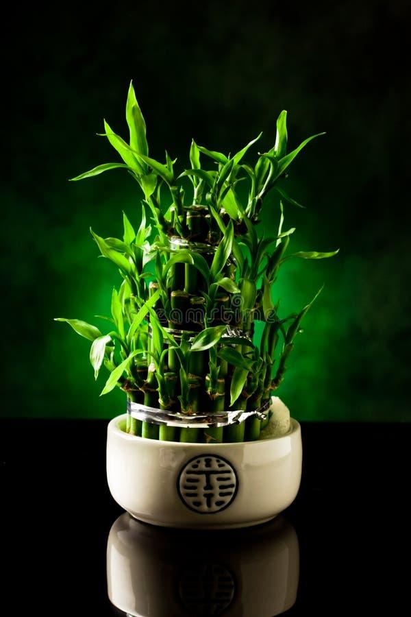 Planta de bambú imágenes de archivo libres de regalías