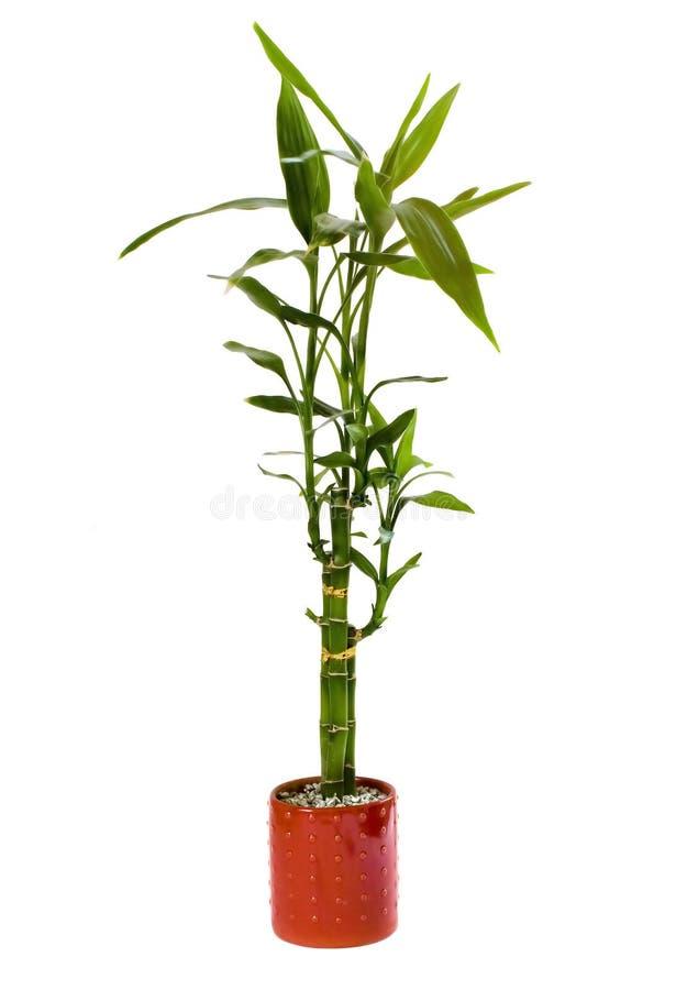 Planta de bambú afortunada foto de archivo libre de regalías