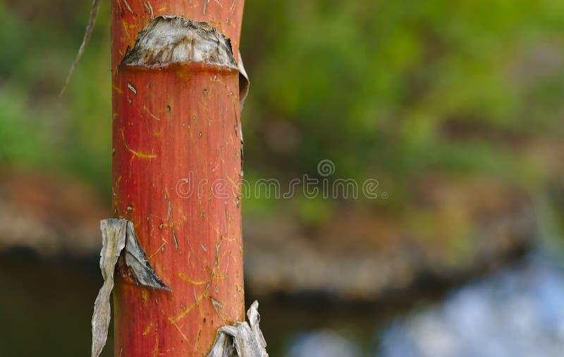 Planta de bamb? del tronco rojo imagen de archivo libre de regalías