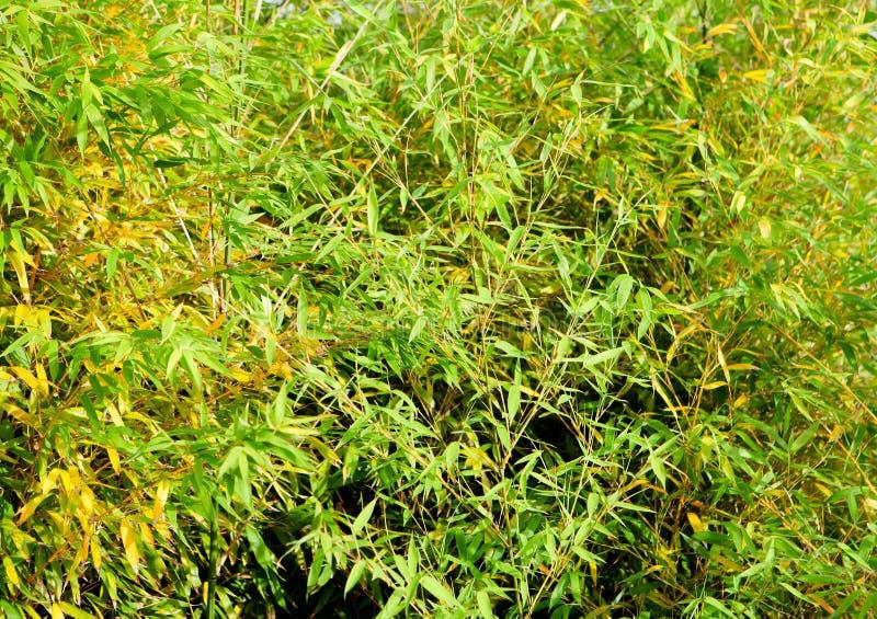 Planta de bambú hermosa y enorme foto de archivo libre de regalías