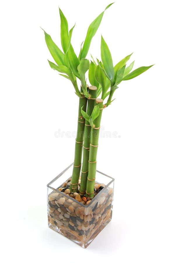 A planta de bambu imagem de stock imagem de folheia - Plantas para habitacion ...