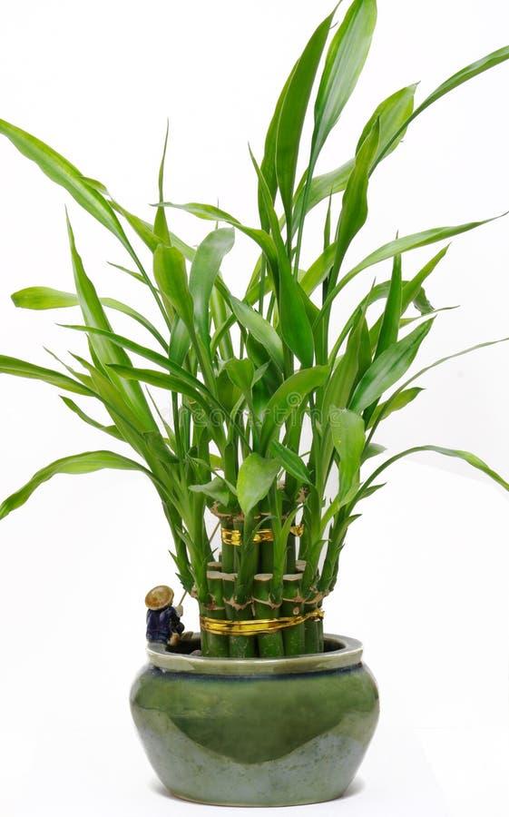 Planta de bambu afortunada da casa