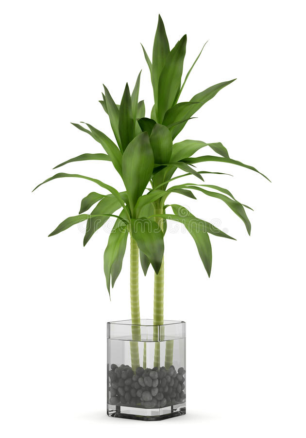 Planta de bambu no vaso isolado no branco ilustra o stock for Bambu in vaso acqua