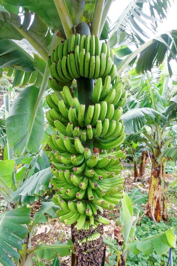 Planta de banana foto de stock royalty free