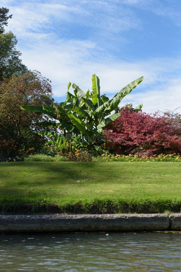 Planta de banana no jardim dos companheiros em Clare College, Cambridge fotos de stock