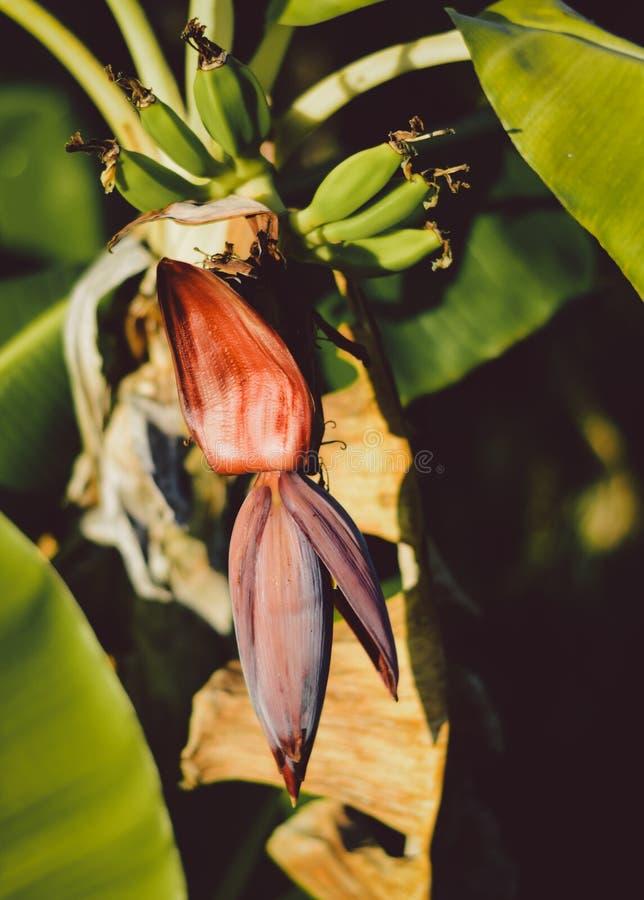 Planta de banana que mostra o fruto fotografia de stock royalty free