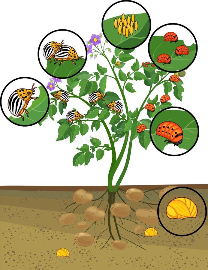 Planta de batata com sistema da raiz e fases diferentes do desenvolvimento do besouro de batata de Colorado ou do decemlineata do ilustração royalty free