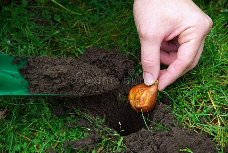 Planta de bulbo 06 imagens de stock royalty free