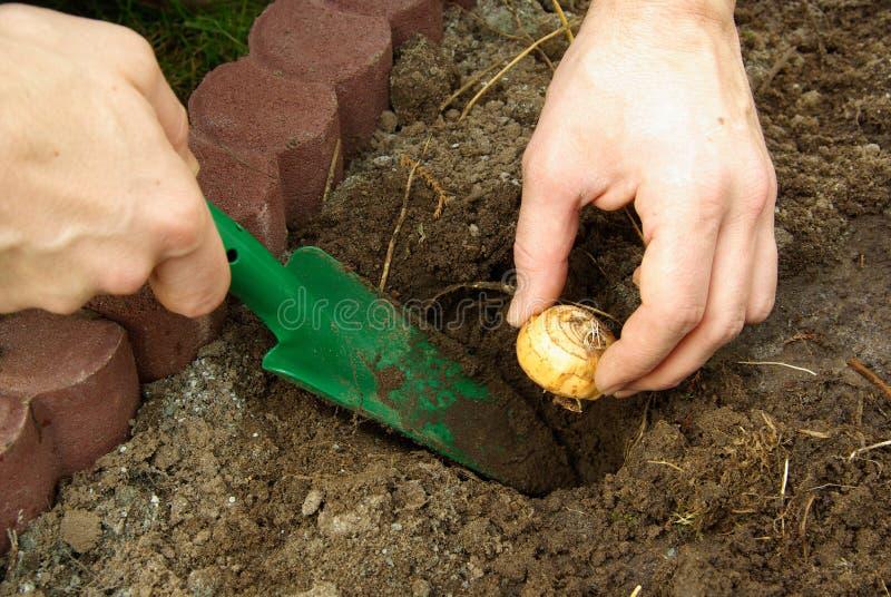 Planta de bulbo 07 imagen de archivo libre de regalías