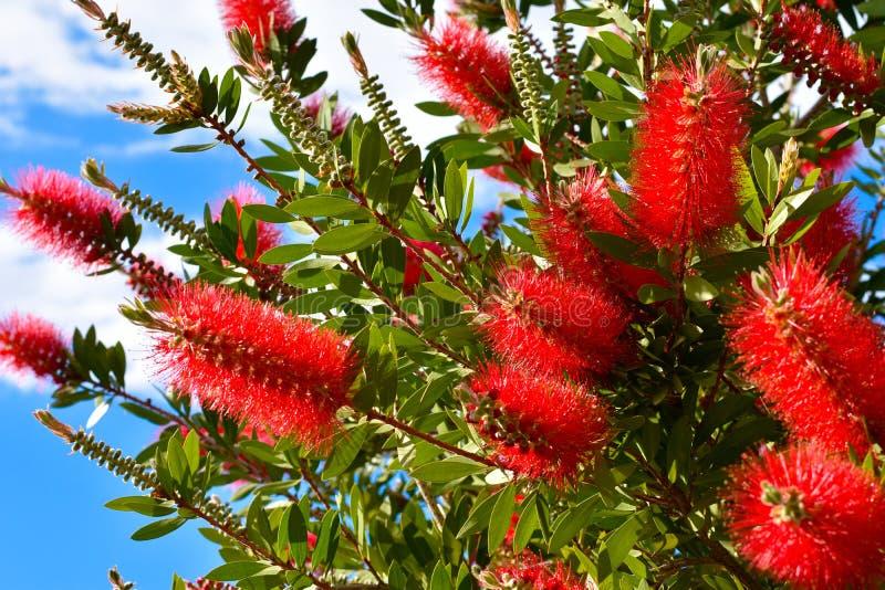 Planta de Callistemon con las flores del bottlebrush y los brotes de flor rojos contra el cielo azul intenso en un día de primave imagen de archivo