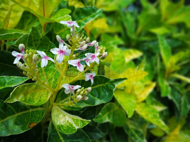 A planta de caricatura tropical floresce com poucas flores brancas e magentas fotos de stock