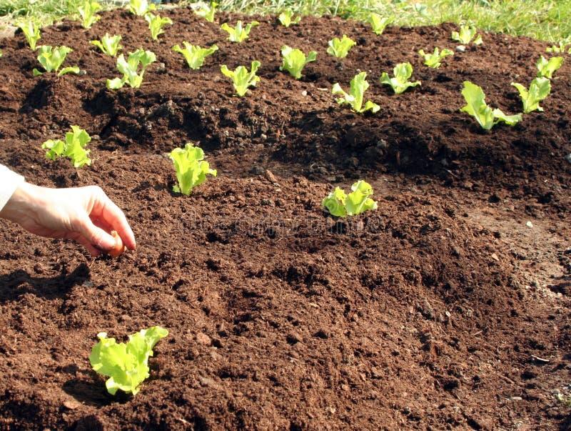 Planta de cebolla en suelo fresco foto de archivo