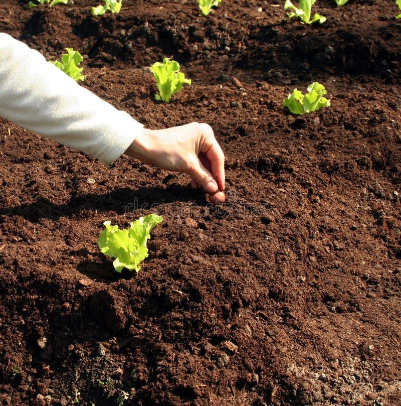 Planta de cebolla en suelo fresco imagen de archivo libre de regalías