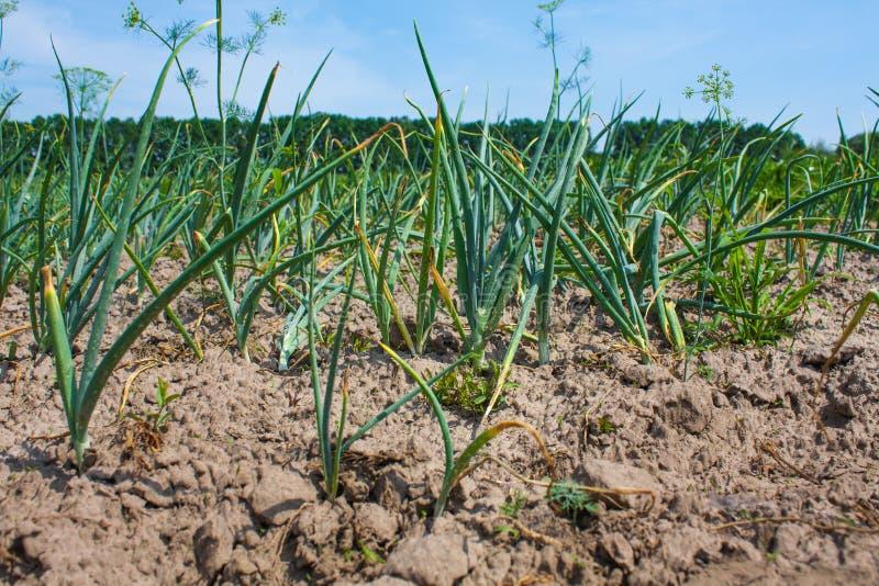 Planta de cebolla, hierba verde joven que crece en la tierra foto de archivo
