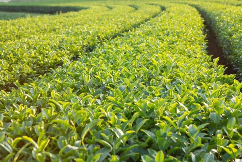 Planta de chá fresca na exploração agrícola fotos de stock royalty free