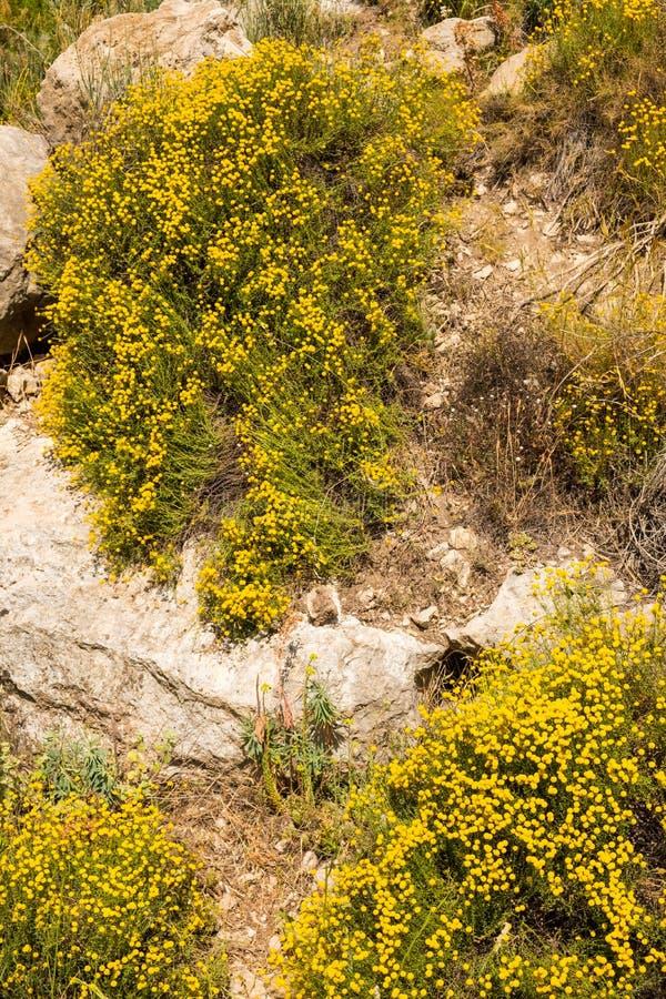 Planta de chamomila de flores fotografia de stock royalty free