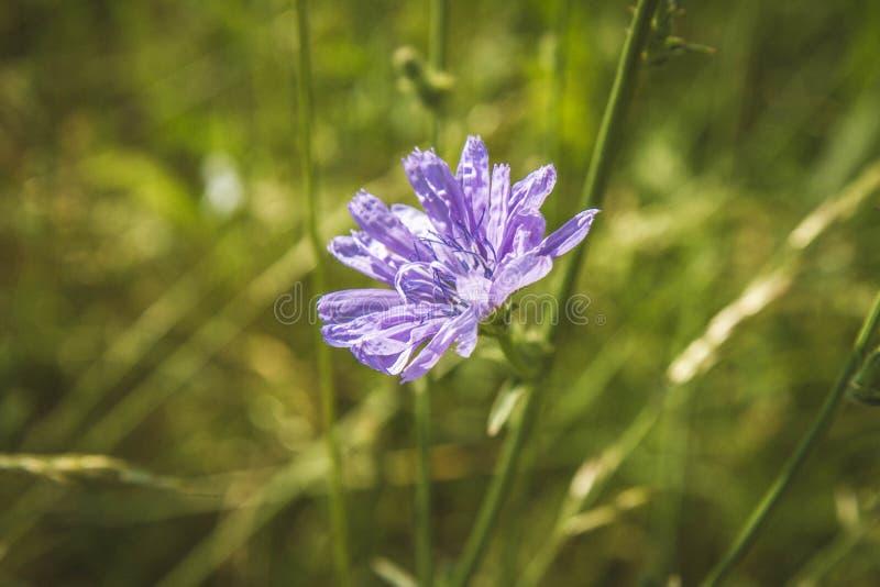 Planta de chicória comum fotografia de stock royalty free