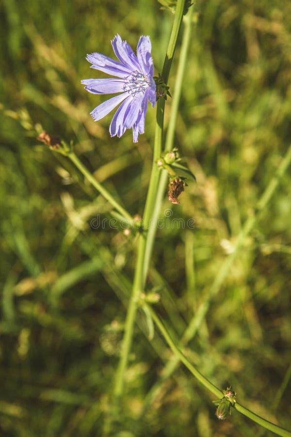 Planta de chicória comum fotos de stock royalty free