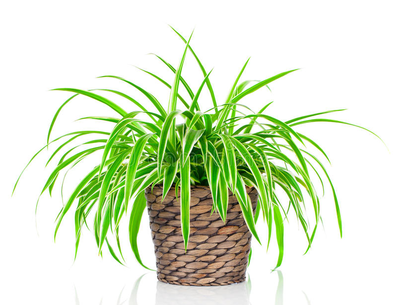 Planta de Chlorophytum fotografia de stock royalty free
