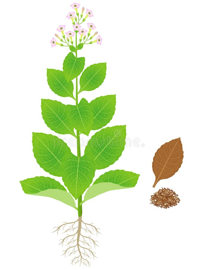 Planta de cigarro de florescência verde com as folhas secas do cigarro ilustração do vetor