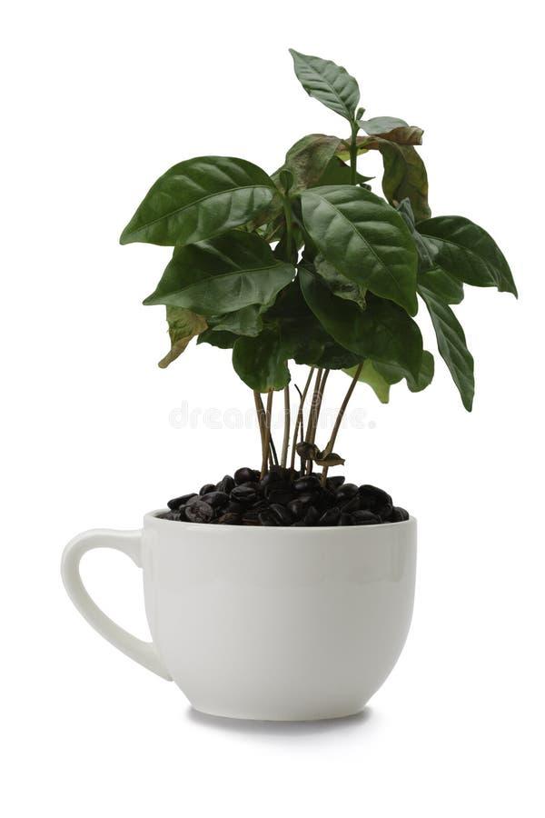 Planta de Coffe fotografia de stock royalty free