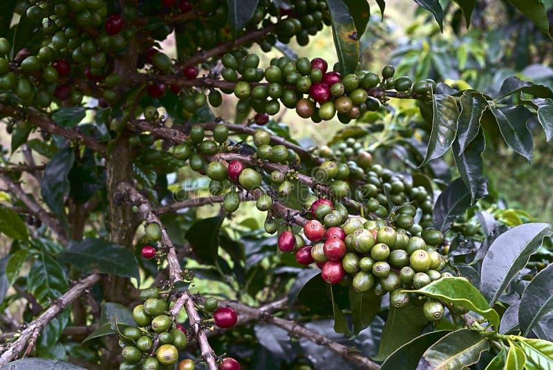 Planta de Coffe con el grano rojo y verde fotos de archivo