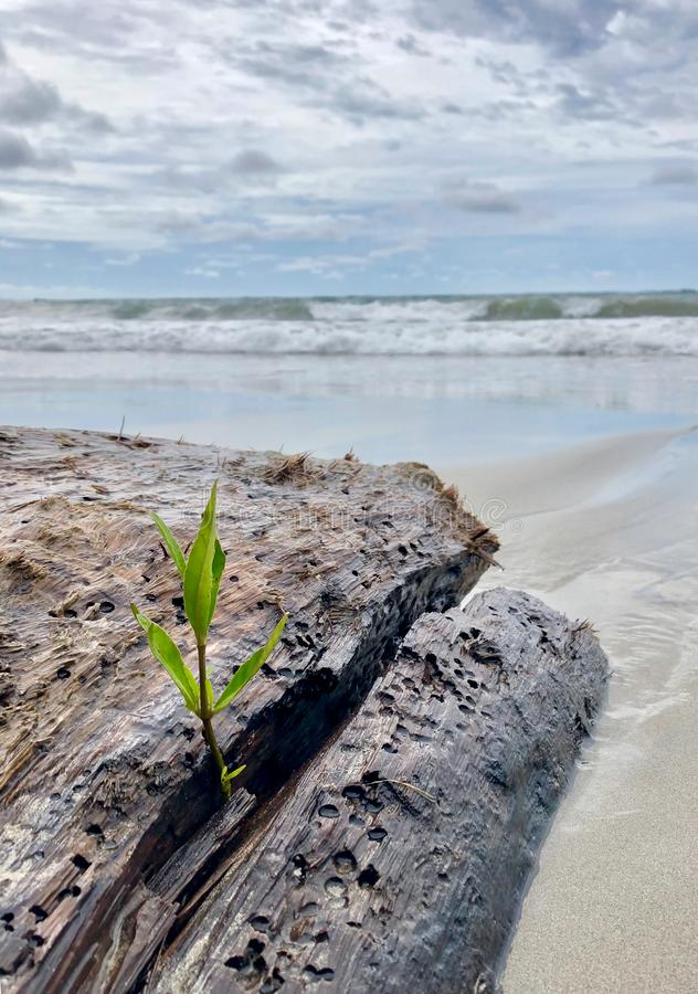 Planta de cultivo em um antigo tronco na praia fotografia de stock