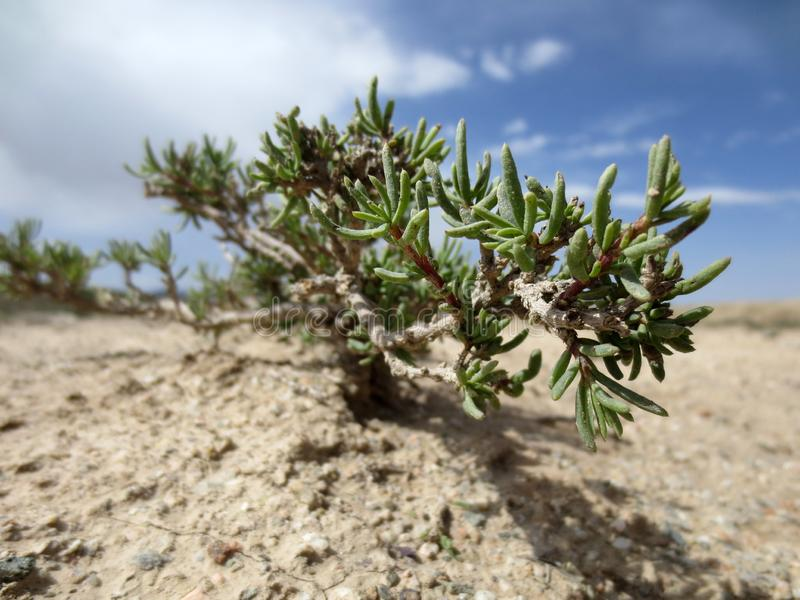 Planta de deserto, deserto de Gobi fotos de stock royalty free
