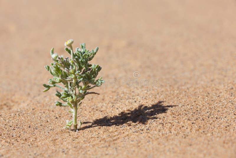 Planta de desierto en arena con la flor amarilla minúscula. imagenes de archivo