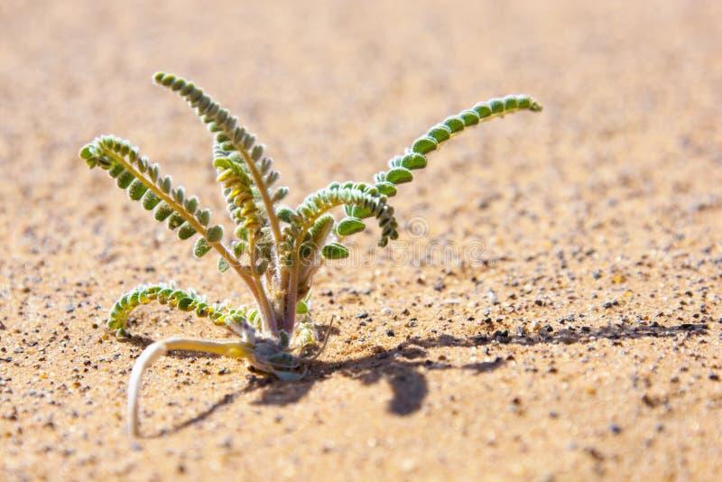 Planta de desierto minúscula en arena. foto de archivo