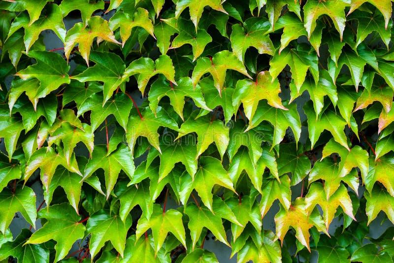 Planta de embalaje decorativa en una pared que cambia color estacional del otoño fotos de archivo libres de regalías