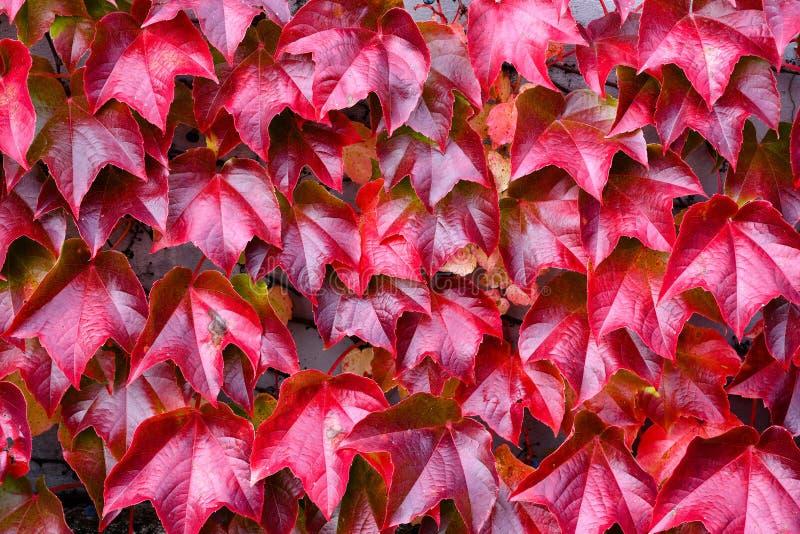 Planta de embalaje decorativa en una pared que cambia color estacional del otoño foto de archivo