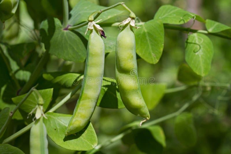 Planta de ervilha com vagens imagem de stock royalty free